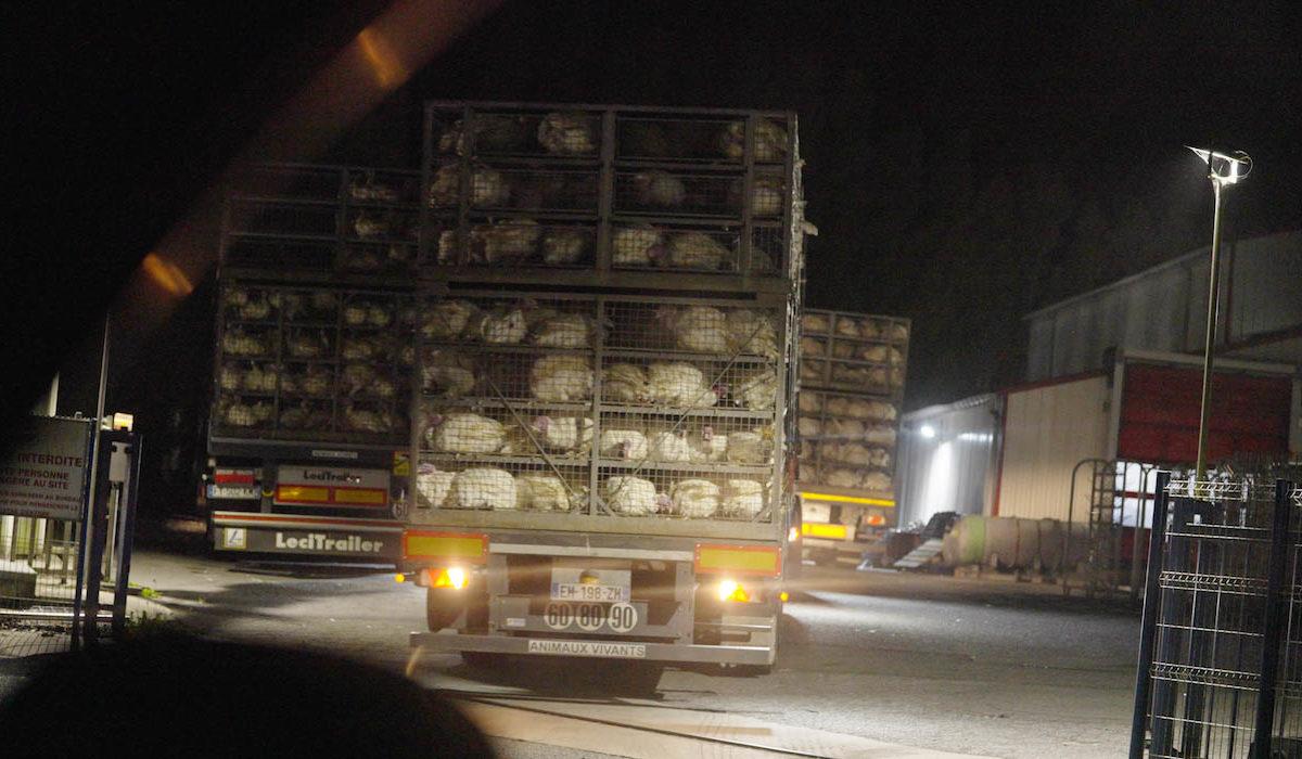 Infractions majeures à l'abattoir de dindes Ronsard au Faouët