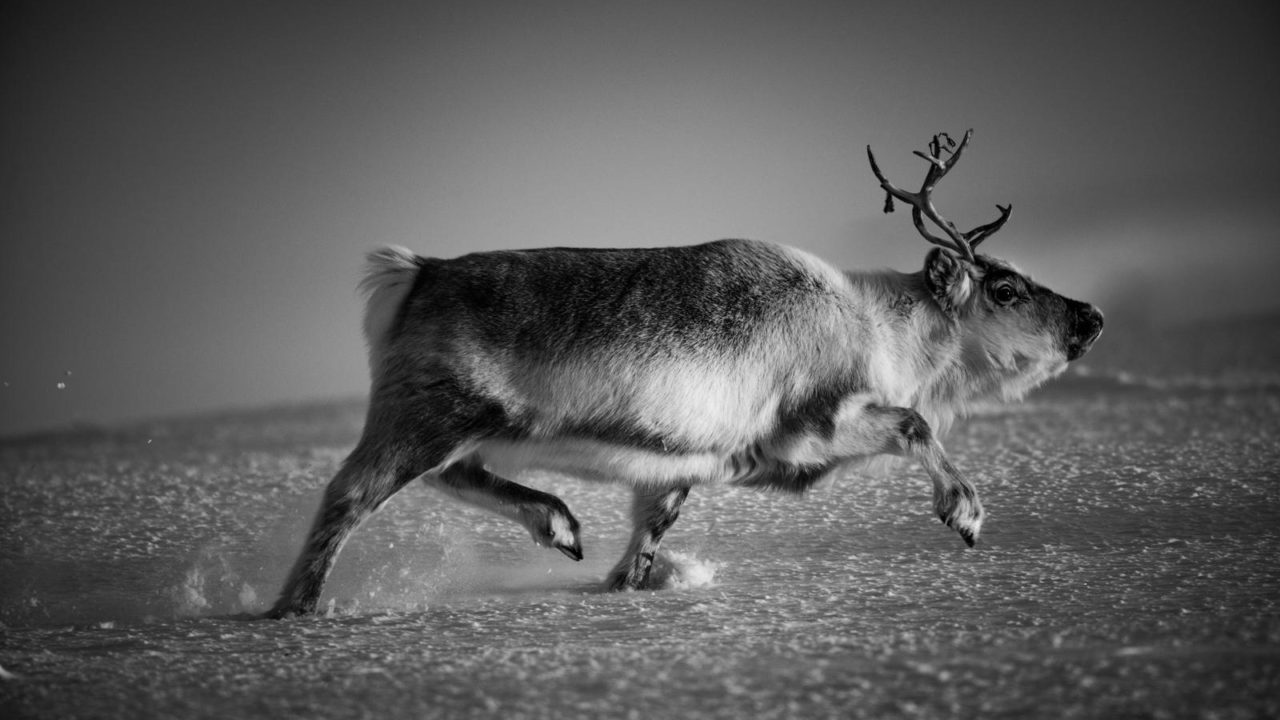 https://savoir-animal.fr/wp-content/uploads/9402-The-hunting-reindeer-Svalbard-2016-©-Laurent-Baheux-1280x720.jpg