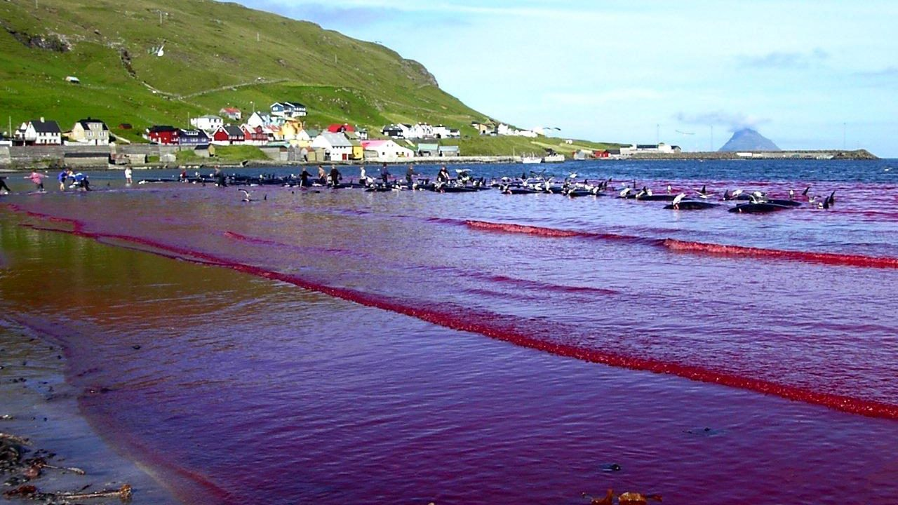 https://savoir-animal.fr/wp-content/uploads/Hvalba_beach_whaling_Faroe_Islands-1280x720.jpg