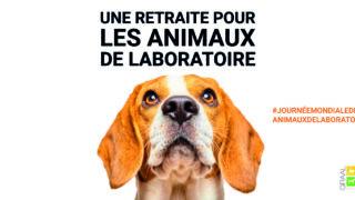 Journée des animaux de laboratoire (24 avril) : le GRAAL annonce la sortie massive de 350 animaux de laboratoire proposés à l'adoption
