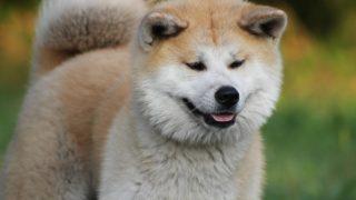 Hachiko, chien fidèle