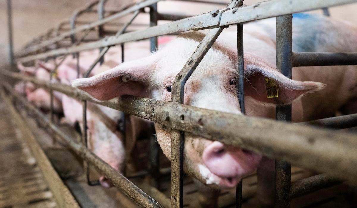 À visage découvert, un lanceur d'alerte dénonce l'horreur vécue par les cochons d'un élevage de l'Yonne