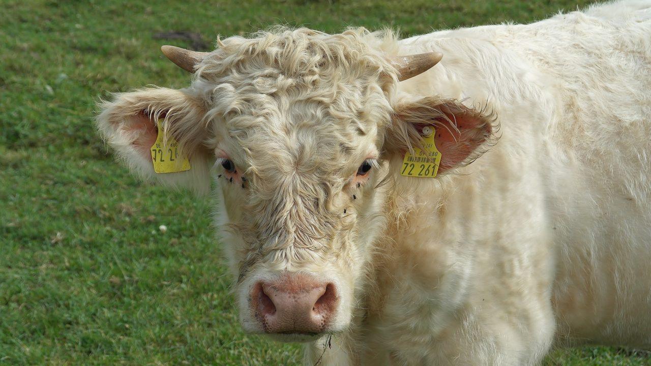 https://savoir-animal.fr/wp-content/uploads/beef-1690246_1920-1280x720.jpg