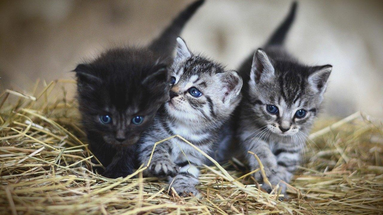 https://savoir-animal.fr/wp-content/uploads/cat-3535404_1280-1280x720.jpg