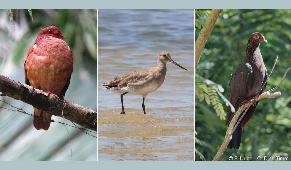 Suspension de la chasse pour 3 oiseaux menacés des Antilles !