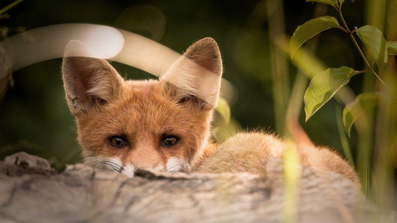 https://savoir-animal.fr/wp-content/uploads/little-fox-2093053_1920-1280x720.jpg