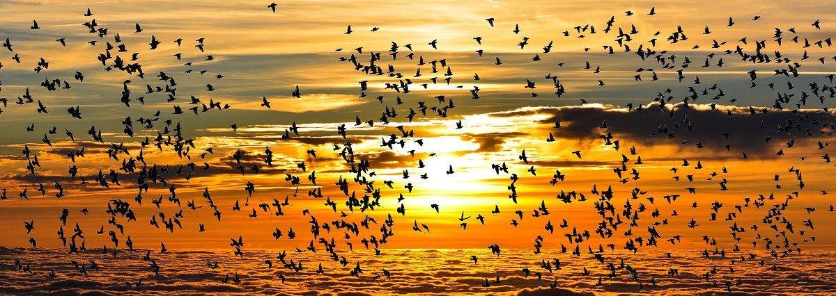 Les grands pas des oiseaux migrateurs