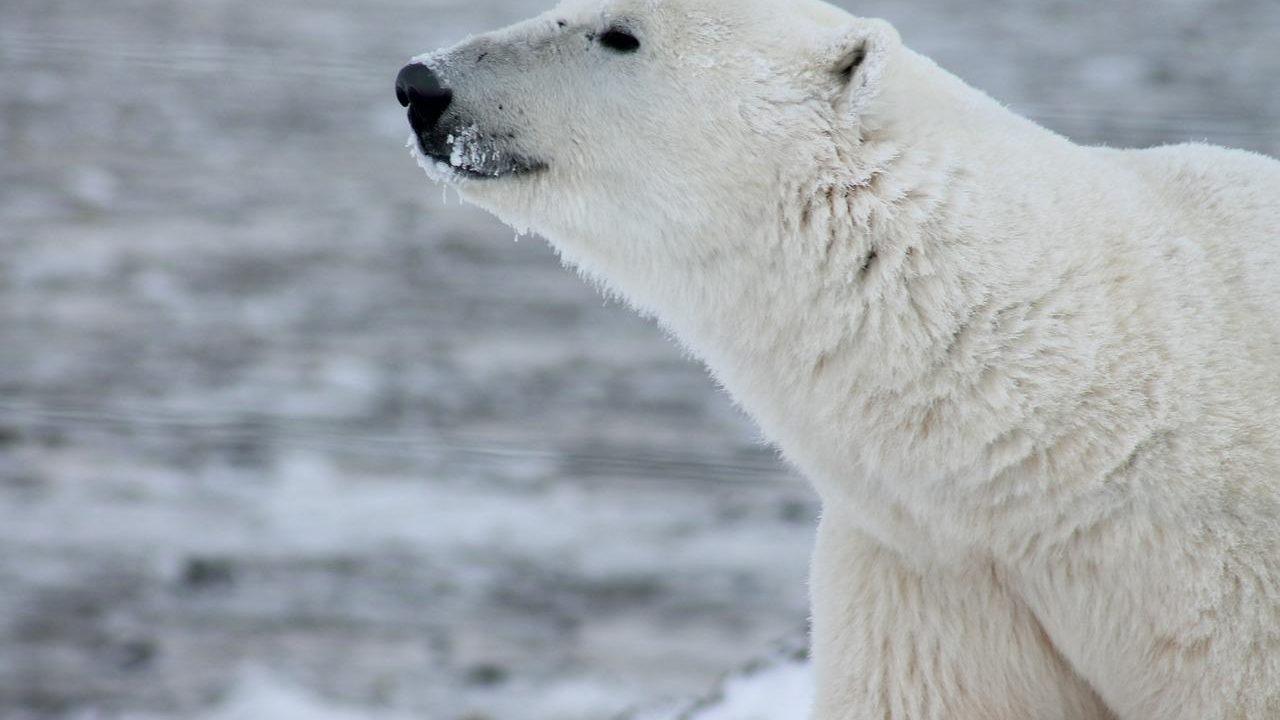 https://savoir-animal.fr/wp-content/uploads/polar-bear-404315_1280-1280x720.jpg