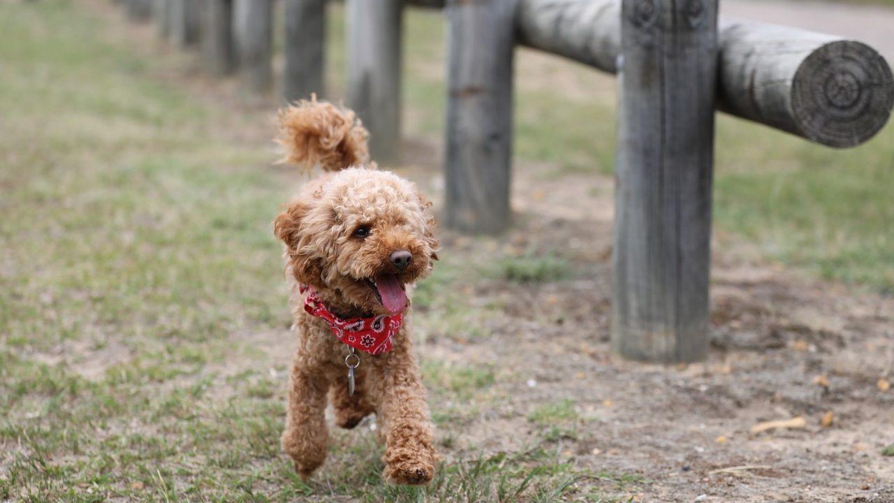 https://savoir-animal.fr/wp-content/uploads/poodle-2521137_1280-1280x720.jpg