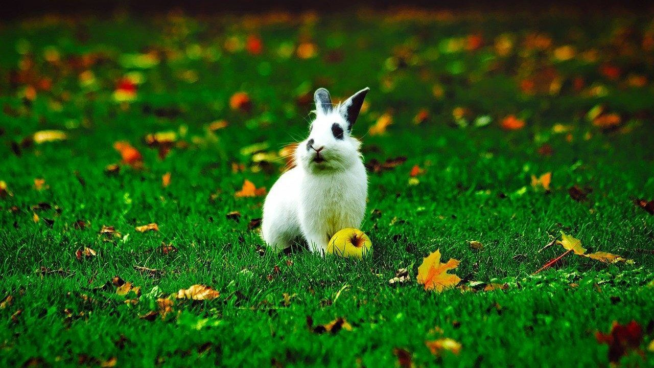 https://savoir-animal.fr/wp-content/uploads/rabbit-1797837_1280-1280x720.jpg