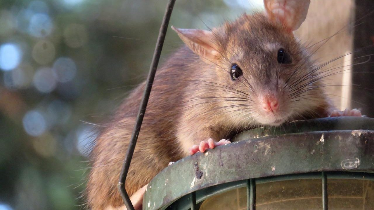 https://savoir-animal.fr/wp-content/uploads/roof-rat-961499_1280-1280x720.jpg