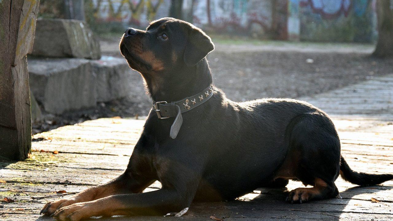 https://savoir-animal.fr/wp-content/uploads/rotweiler-2125284_1280-1280x720.jpg