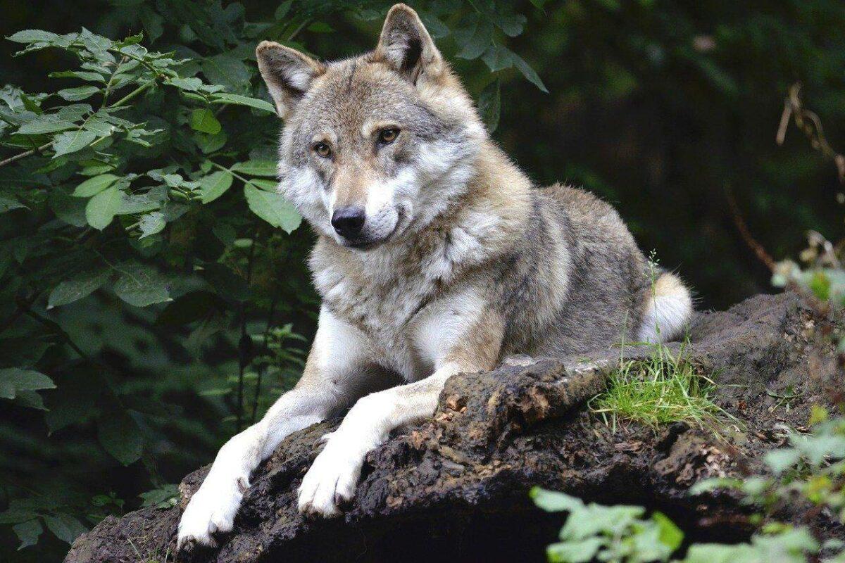Mise en perspectives de la présence du loup en France