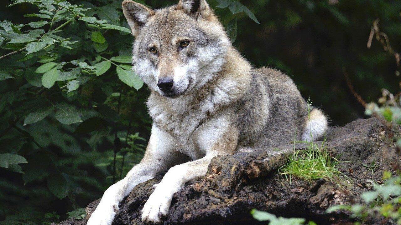 https://savoir-animal.fr/wp-content/uploads/wolf-1336229_1280-1280x720.jpg