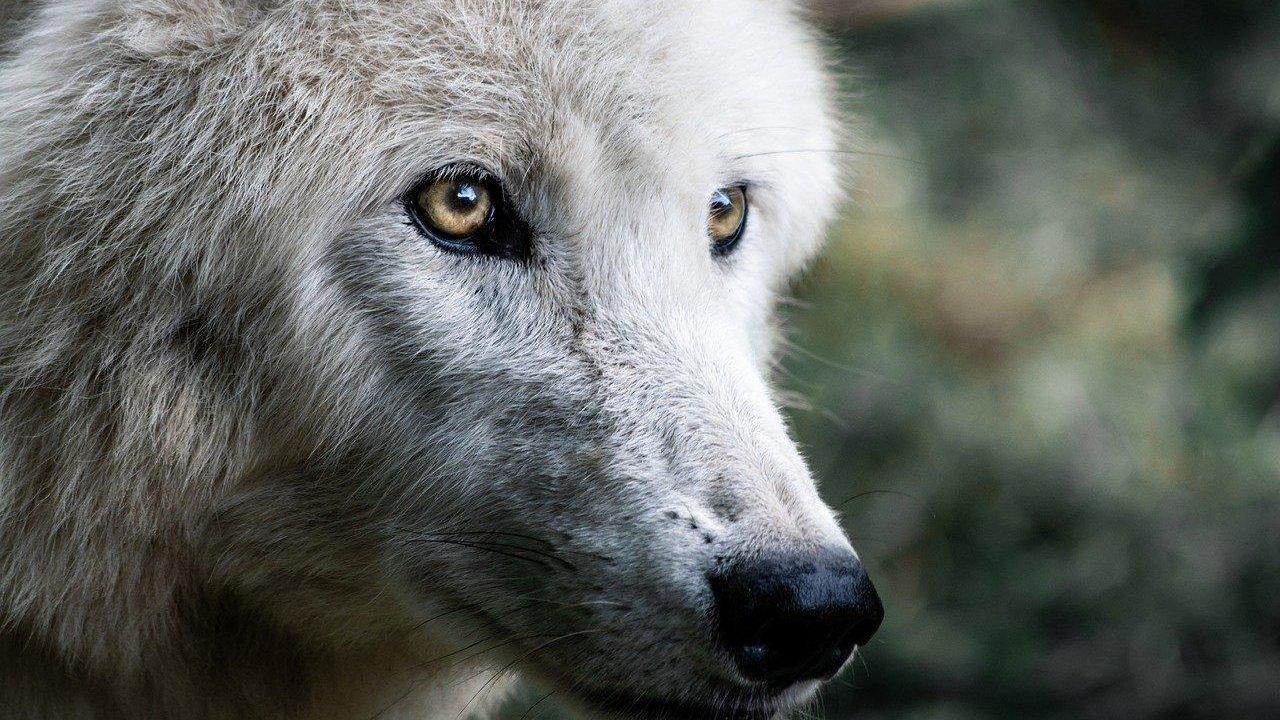 https://savoir-animal.fr/wp-content/uploads/wolf-4483675_1280-1280x720.jpg